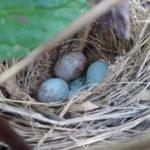 Ovos no ninho